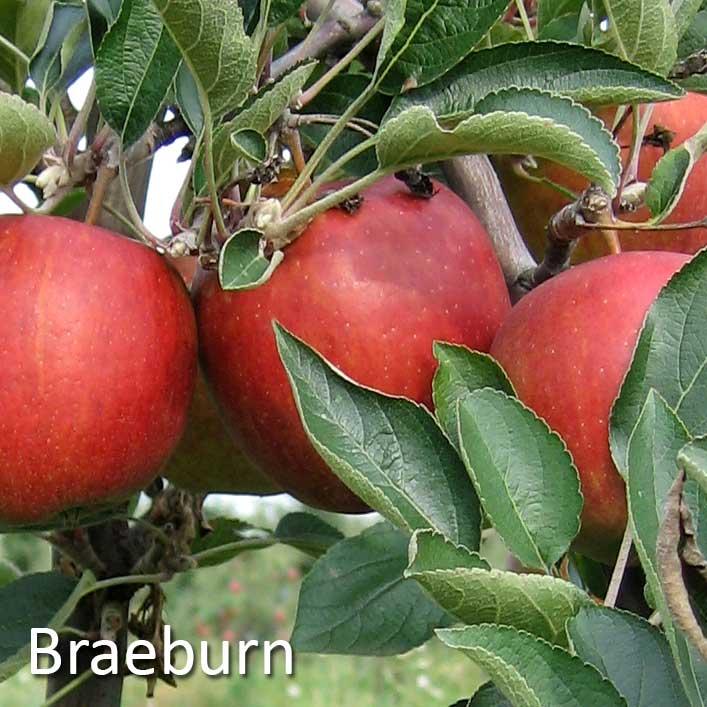 Sortiment Breburn Braeburn