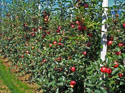 biodinamičli kapacitet sadnica 18 meseci posle sadnje 1