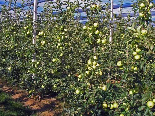 biodinamčki kapacitet sadnica 18 meseci posle sadnje 2