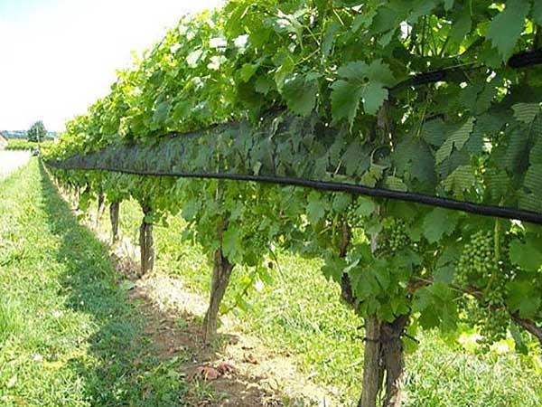 protivgradni sistemi za vinograde