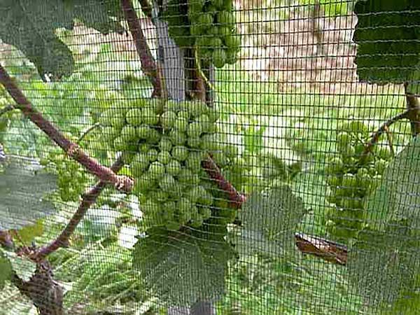 protivgradna zastita vinograda