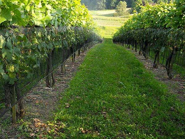 protivgradni sistemi za zastitu vinograda 3