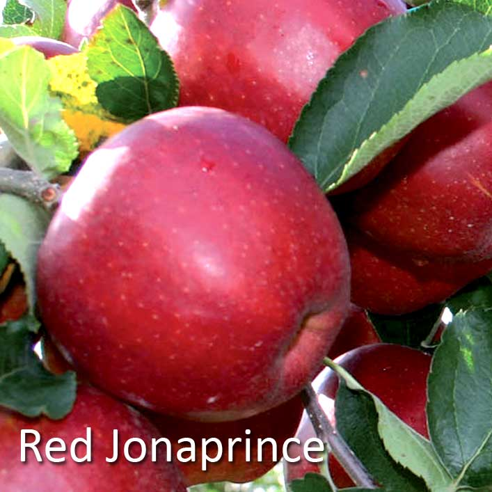 Sortiment Red Dzonaprins Red Jonaprince