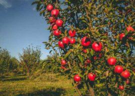 Последние дикие яблоневые леса в мире