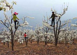 Сами люди опыляют свои фруктовые деревья