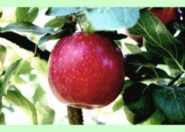 """""""Вечное"""" яблоко - свежие яблоки круглый год"""