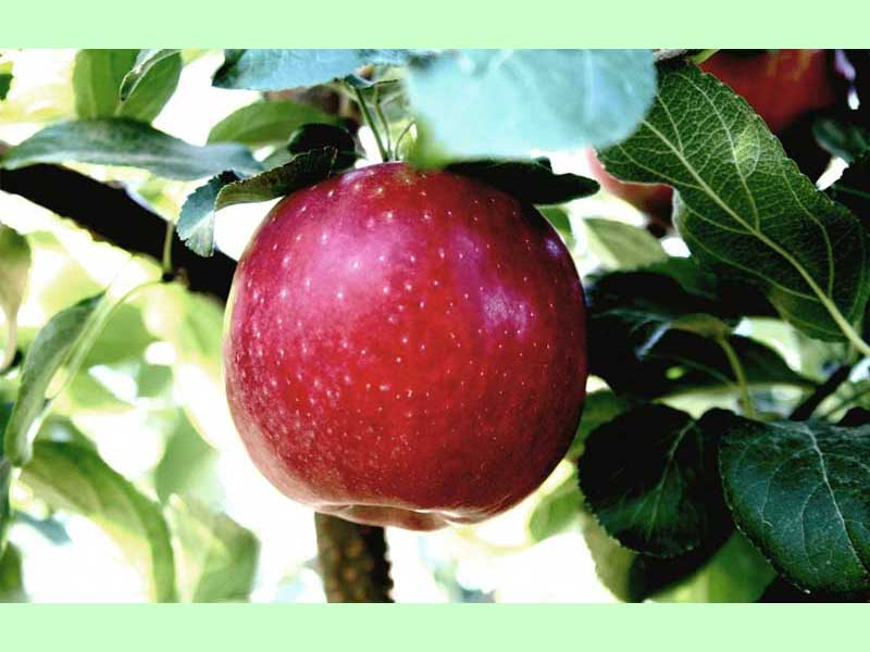 """""""Večna"""" jabuka. Godinu dana svežine"""